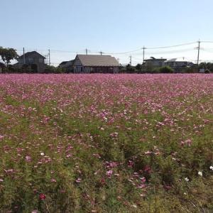 休耕田のコスモス畑(群馬県 玉村町)
