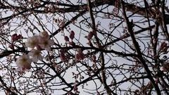 さくら咲いてました
