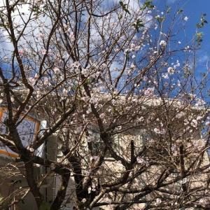 写真館の桜と、昨夜の空