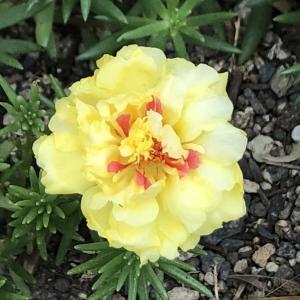 黄色い松葉牡丹