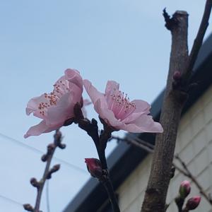 桃が咲いた