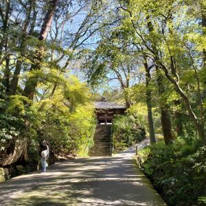 鎌倉サクラ2020 妙本寺