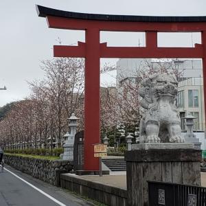 鎌倉サクラ2020 若宮大路