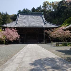 鎌倉サクラ2020妙本寺カイドウ満開