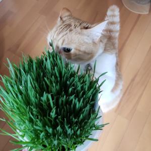 猫草に喜ぶ