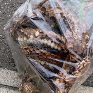 生け垣の中に蜂の巣が多いのはご存知ですか