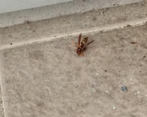 今年のハチは…巣がかくれてない?!