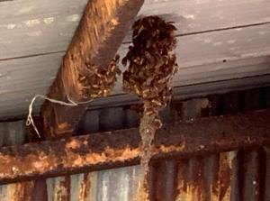 磐田市で世にも奇妙な形のアシナガバチの巣を駆除!これは過去一!
