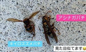 キイロスズメバチとアシナガバチはそっくり!比較!