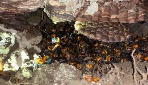 オオスズメバチ!取りやすい巣は珍しい