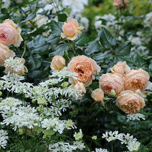 吉池貞藏さんのバラ