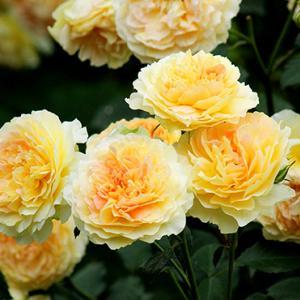 ガーデンのおすすめバラをご紹介!