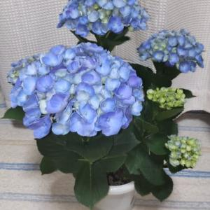 紫陽花(アジサイ) と  白檀(ビャクダン)