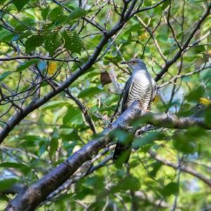 一期一会・・・鳥撮りの記 369 ツツドリ