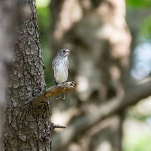 一期一会・・・鳥撮りの記 371 エゾビタキ、コサメビタキ