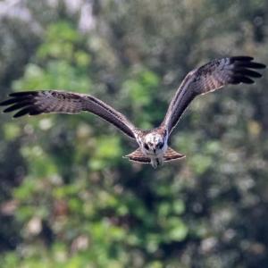 一期一会・・・鳥撮りの記 372 ミサゴ