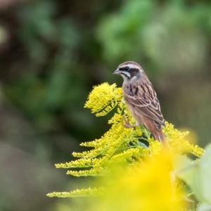 一期一会・・・鳥撮りの記 373 ホオジロ、ノビタキ