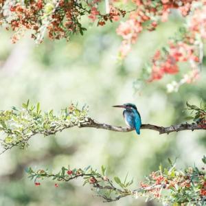 一期一会・・・鳥撮りの記 374 ピラカンサとカワセミ他