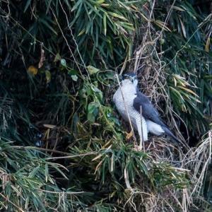 一期一会・・・鳥撮りの記 376 オオタカ・ミサゴ・ノスリ他