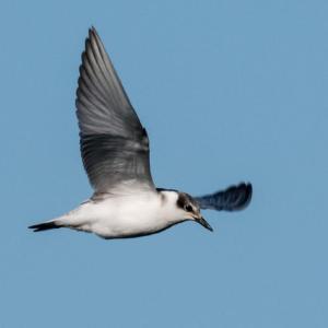 一期一会・・・鳥撮りの記 377 相模川の鳥たち