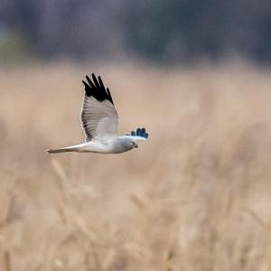 一期一会・・・鳥撮りの記 383 ハイイロチュウヒ
