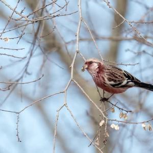 一期一会・・・鳥撮りの記 398 ベニマシコ