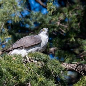 一期一会・・・鳥撮りの記 400 オオタカ