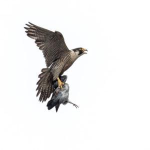 一期一会・・・鳥撮りの記 412 ハヤブサ