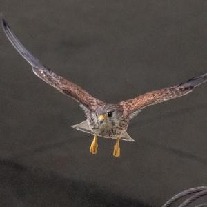 一期一会・・・鳥撮りの記 422 チョウゲンボウ