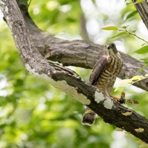 一期一会・・・鳥撮りの記 428 ツミ、アオバズク
