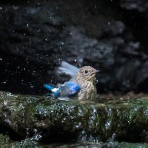 一期一会・・・鳥撮りの記 429 富士山麓の水場
