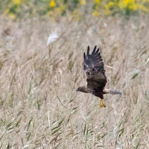 一期一会・・・鳥撮りの記 439 チュウヒ