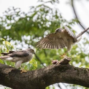 一期一会・・・鳥撮りの記 474 ツミ