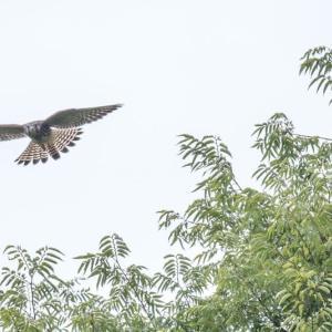 一期一会・・・鳥撮りの記 475 チョウゲンボウ