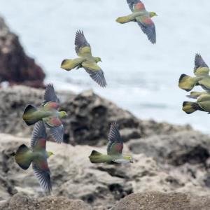 一期一会・・・鳥撮りの記 476 アオバト