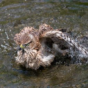 一期一会・・・鳥撮りの記 481 オオタカ