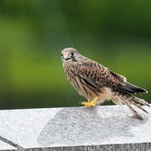 一期一会・・・鳥撮りの記  354 チョウゲンボウ