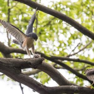 一期一会・・・鳥撮りの記  355 ツミ、オオタカ幼鳥