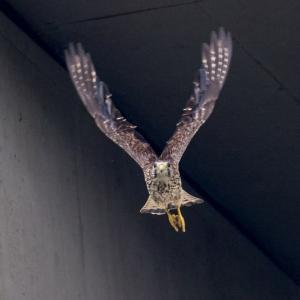 一期一会・・・鳥撮りの記  356 チョウゲンボウ、ツミ