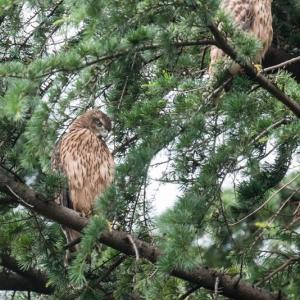 一期一会・・・鳥撮りの記  357 オオタカ幼鳥