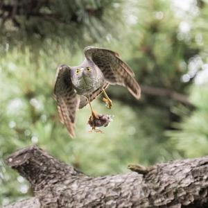 一期一会・・・鳥撮りの記  358 ツミ
