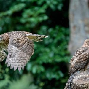 一期一会・・・鳥撮りの記  359 オオタカ幼鳥