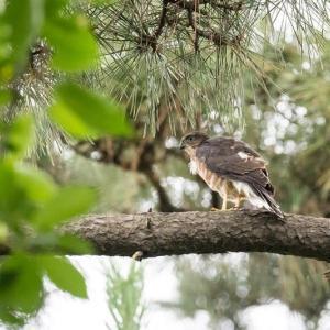 一期一会・・・鳥撮りの記  360 ツミ
