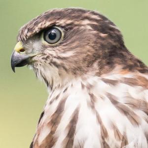 一期一会・・・鳥撮りの記  361 ツミ幼鳥