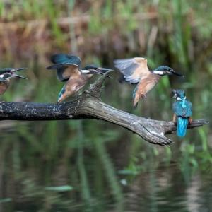 一期一会・・・鳥撮りの記  363 カワセミ