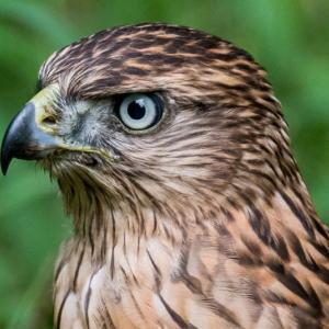 一期一会・・・鳥撮りの記  364 オオタカ幼鳥