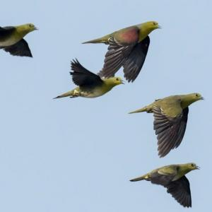 一期一会・・・鳥撮りの記 366 アオバト