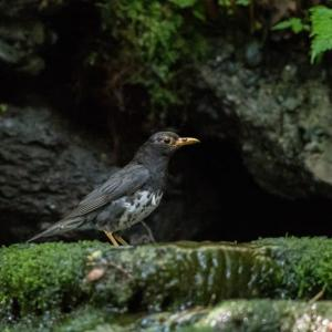 一期一会・・・鳥撮りの記 367 富士山麓の水場2か所巡り