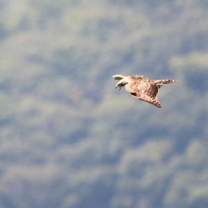 一期一会・・・鳥撮りの記 368 奥多摩湖の猛禽