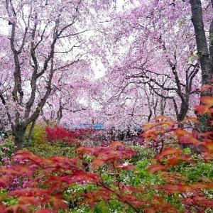 京都「原谷苑」の桜。